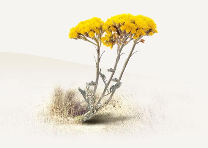 Melifera-accueil-dunes-oleron-fleur-immortelle-responsive