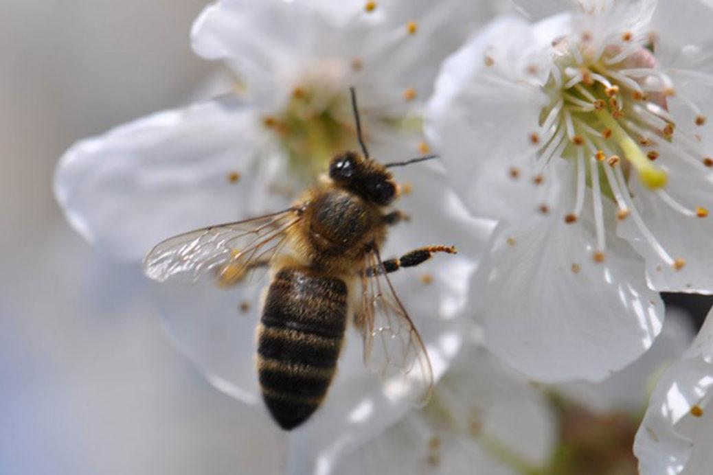 Melifera-gin-francais-engage-pour-protection-abeille-noire