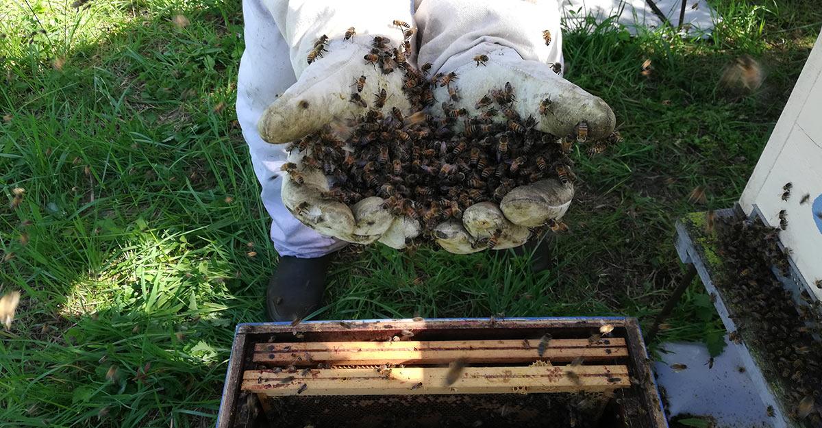 Melifera-gin-francais-engage-pour-protection-abeille-noire-ruche