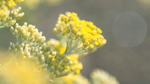Melifera-les-cinq-sens-de-la-fleur-d-immortelle-et-ses-multiples-bienfaits